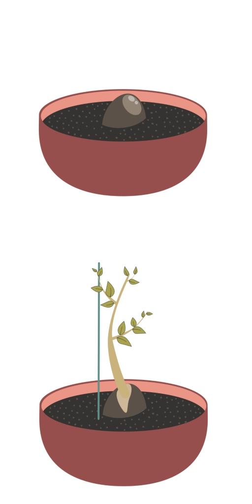 avocats-plante